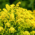 Goldenrod by Phyllis Taylor