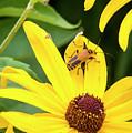 Goldenrod Soldier Beetle by Ricky L Jones