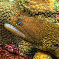 Goldentail Moray by Dianne Phelps