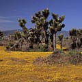 Goldfields And Joshua Trees by Don Kreuter