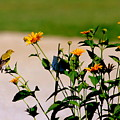 Goldfinch And Yellow Flowers by Darla Wells