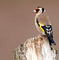 Goldfinch by Bob Kemp