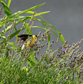 Goldfinch by Gregory Blank