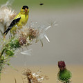 Goldfinch by Henry Russell