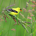 Goldfinch In A Meadow by Dorothy Pugh