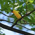 Goldfinch In Oak Tree by C H Apperson