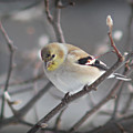 Goldfinch In Winter by Dave Chafin