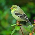 Goldfinch On Green by Dianne Cowen