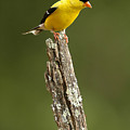 Goldfinch On Lichen Post by Alan Lenk