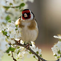 Goldfinch Spring Blossom by Cliff Norton