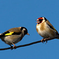 Goldfinch Spring  by Cliff Norton