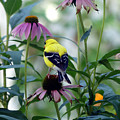 Goldfinch Visiting Coneflower by Amy Dundon
