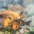 Goldfish In An Aquarium by Ashish Agarwal