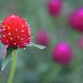 Gomphrena Flower by Carol VanDyke
