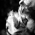 Gone To Seed Milkweed 1 by Teresa Mucha