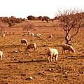 Gone With The Herd by Ariane Moshayedi