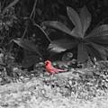 Good Morning Cardinal  by John W Smith III