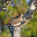 Good Mourning Dove By H H Photography Of Florida by HH Photography of Florida