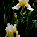 Goodnight Iris by Trudi Southerland