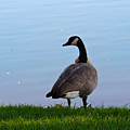 Goose #2 Pose by Roberts Photography