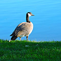 Goose #3 Pose by Roberts Photography