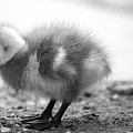 Goose Chick by Eyeshine Photography