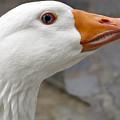 Goose Close Up by Roberto Baez Duarte