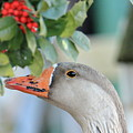Goose Eating Berries by Geraldine Scull