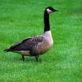 Goose by Erik Berglund