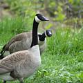 Goose Warning by Belinda Stucki