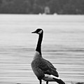 Goose In The Rain by Edward Myers