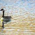 Goose On The Pond by Bonfire Photography