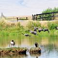 Goose Pond by Dennis Hammer