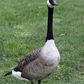 Goose Portrait by Paul Slebodnick