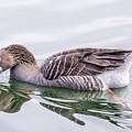 Goose Swimming by Nina Lin