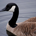 Goose Watching Me... by Michelle  BarlondSmith