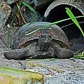 Gopher Tortoise II by Michiale Schneider