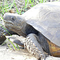 Gopher Tortoise by Sally Sperry