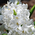 Goregeous White Flowering Hyacinth Blossom by DejaVu Designs