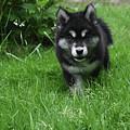 Gorgeous Alusky Puppy Dog Creeping Through Grass by DejaVu Designs