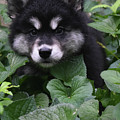 Gorgeous Alusky Puppy Playing Hide And Seek  by DejaVu Designs