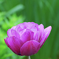 Gorgeous Blooming And Flowering Dark Pink Parrot Tulip by DejaVu Designs