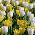 Gorgeous Blooming Field Of White And Yellow Tulips by DejaVu Designs