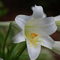 Gorgeous Blooming White Lily With Yellow Pollen On It's Stamen by DejaVu Designs