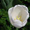 Gorgeous Blooming White Tulip Flower Blossom In Spring by DejaVu Designs