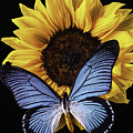 Gorgeous Blue Butterfly by Garry Gay