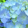 Gorgeous Blue Colorful Floral Art Hydrangea Flowers Baslee Troutman by Baslee Troutman