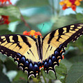 Gorgeous Butterfly by Bill And Deb Hayes