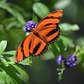 Gorgeous Close Up Of An Oak Tiger Butterfly In Nature by DejaVu Designs