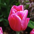 Gorgeous Dark Pink Tulip Blooming In A Garden by DejaVu Designs